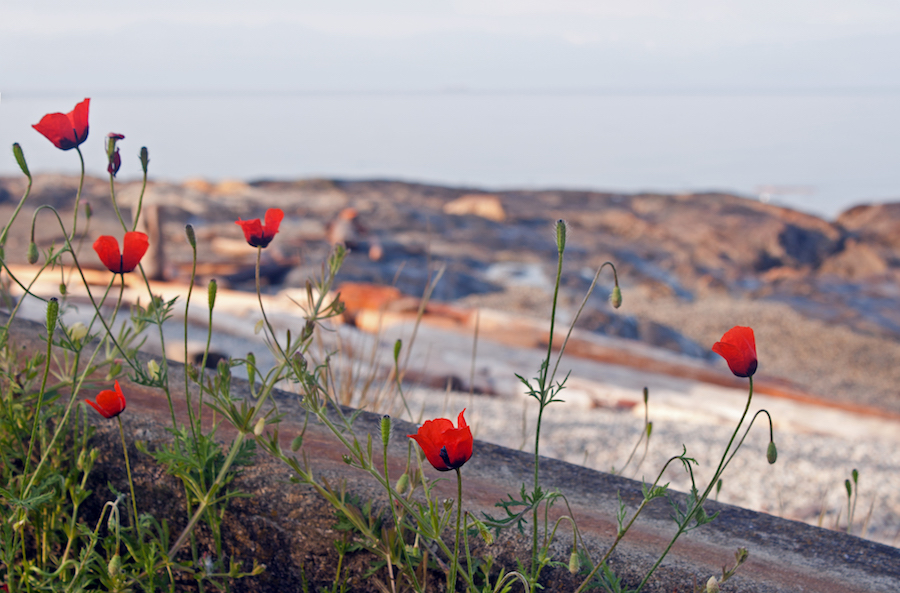 Poppies by the Sea, British Columbia